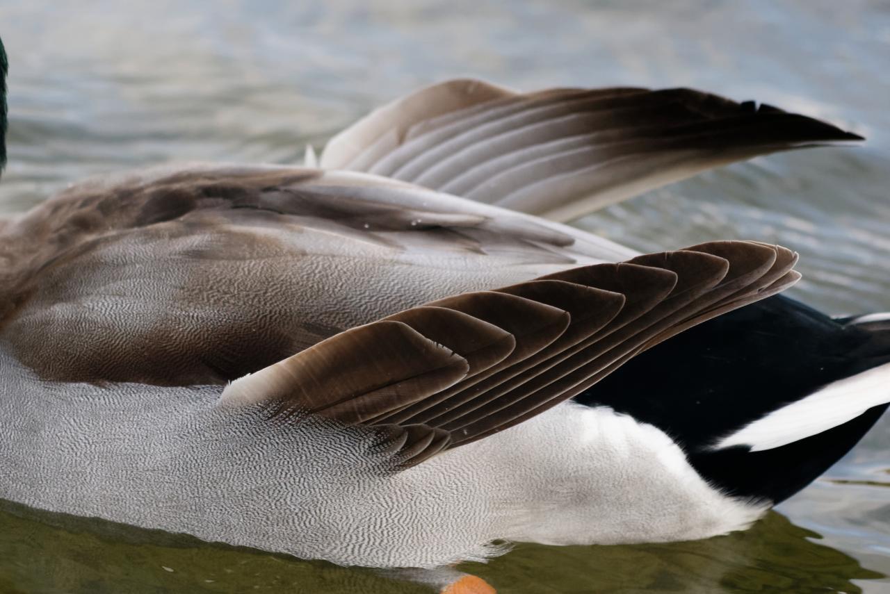 Ailes d'ange d'un canard colvert