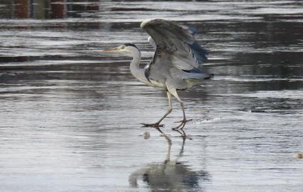 Un héron glissant sur le lac gelé