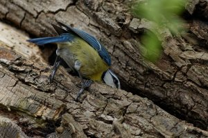 [Mésange bleue->https://www.flickr.com/photos/michel-noel/13515860763/] - JPEG - 139.6 ko - 500×333 px