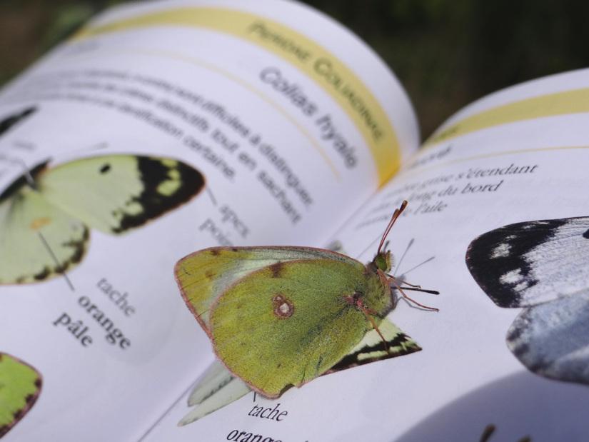 Colias sp. en identification © CACP – Gilles Carcassès