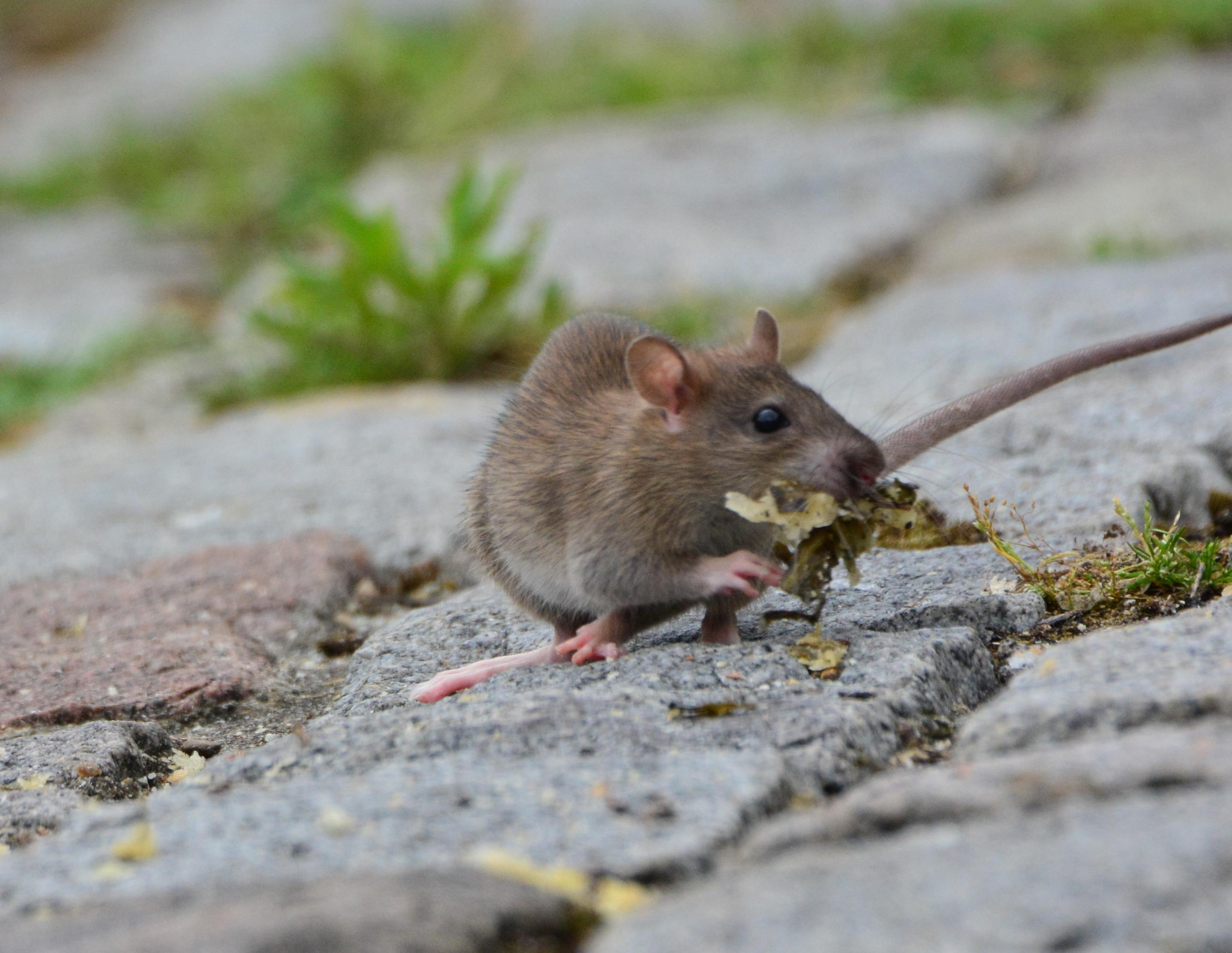 Repas d'un des Rats du Port (1)