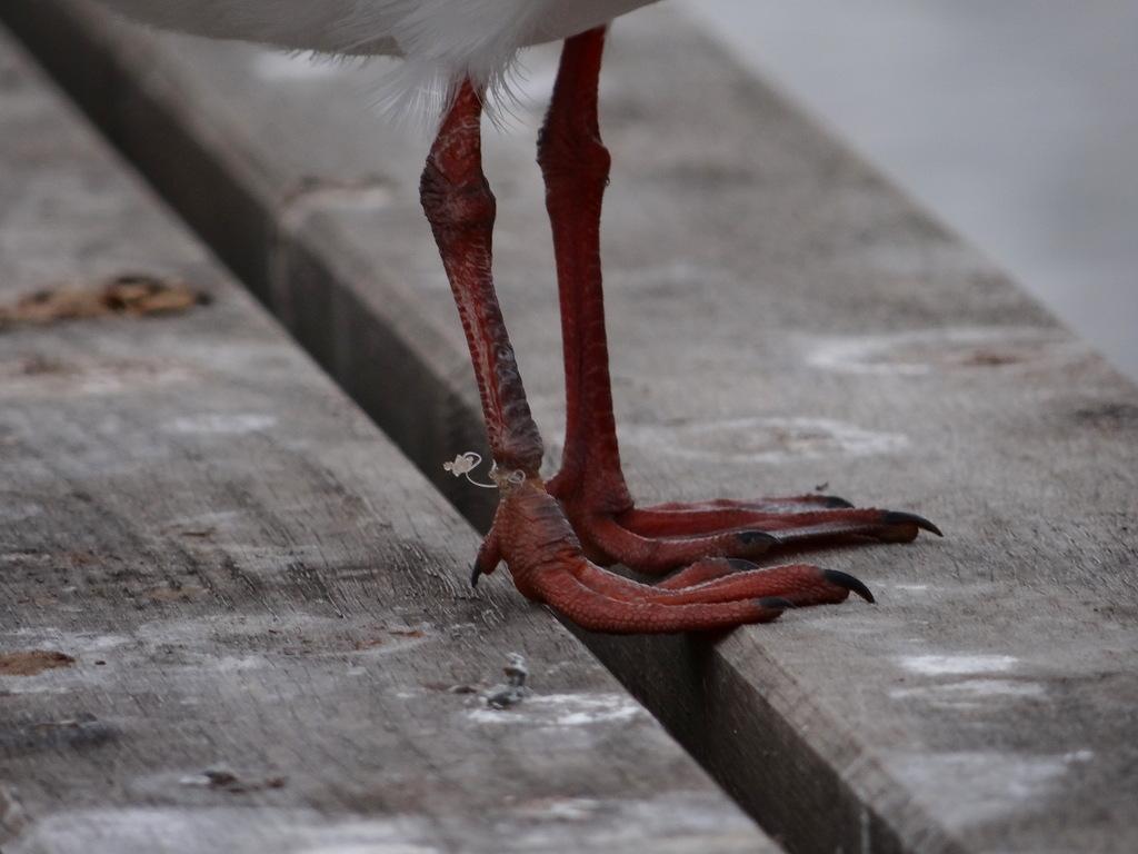 Patte de mouette rieuse blessée par un fil de pêche – parc François-Mitterrand à Cergy © CACP – Gilles Carcassès