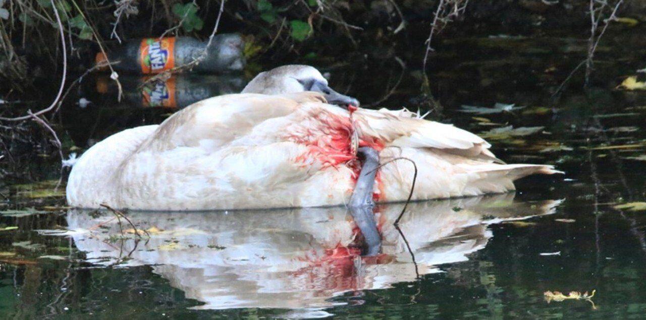 Affaibli et entravé par le fil de pêche, le cygne a été pris en charge par une vétérinaire.