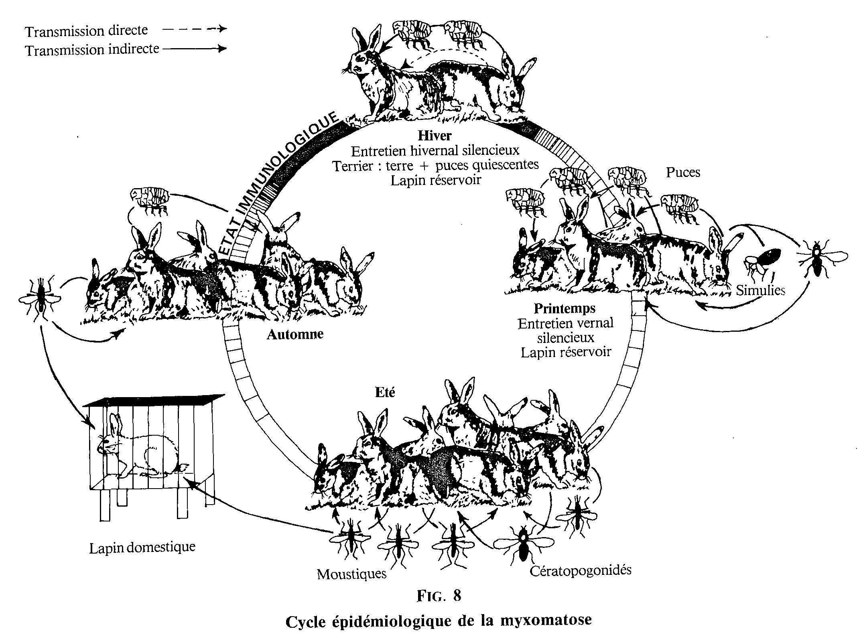 Cycle de transmission de la myxomatose